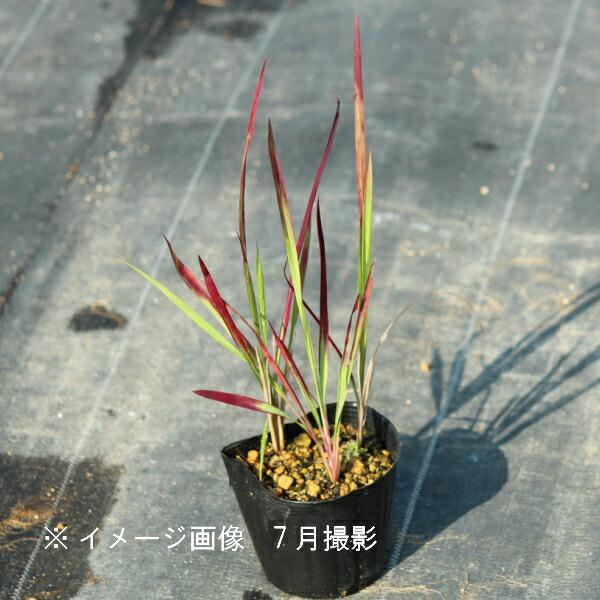 (100ポット)ベニチガヤ 9cmポット苗100ポットセット 山野草/耐寒性多年草/紅茅/レッドバロン