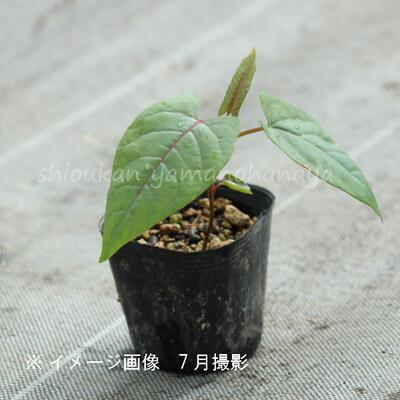 (2ポット)イタドリ 9cmポット苗2ポットセット 山菜苗/耐寒性多年草/痛取/イタンポ/※9/18休眠期に入りました|shioukan-hanaya|03