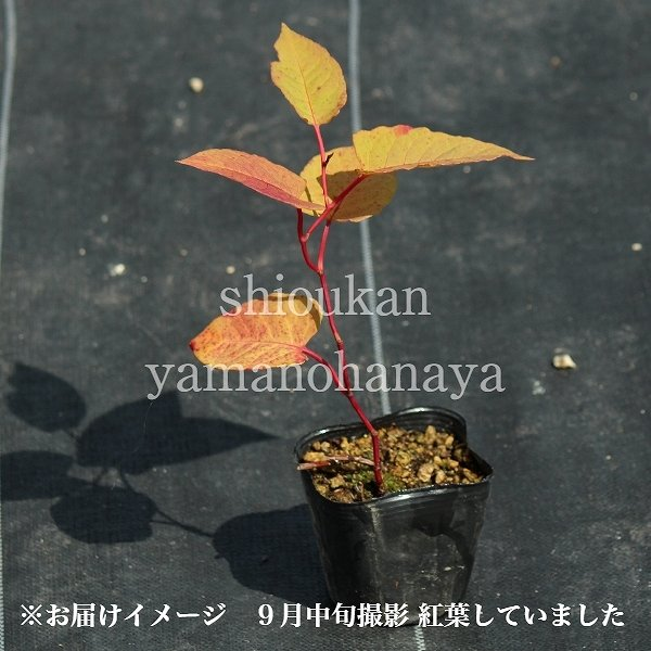 (2ポット)イタドリ 9cmポット苗2ポットセット 山菜苗/耐寒性多年草/痛取/イタンポ/※9/18休眠期に入りました|shioukan-hanaya|04