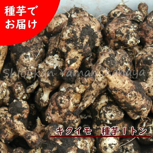 (1000kg) 岩手県産キクイモ(生)種芋 1トン(1000kg)(5000·7000個程) 無農薬栽培/土付き/※2021年4月9日お届け
