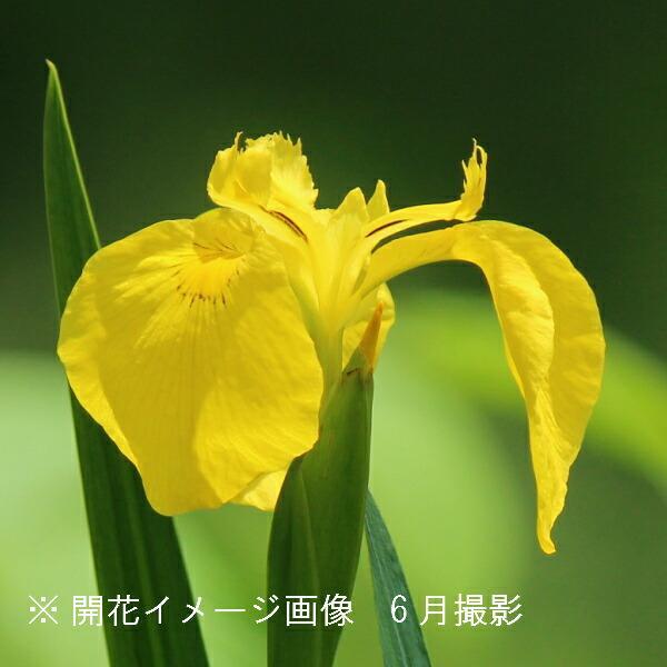 (100ポット)キショウブ 10.5cmポット苗100ポットセット 湿地植物/耐寒性多年草/黄菖蒲
