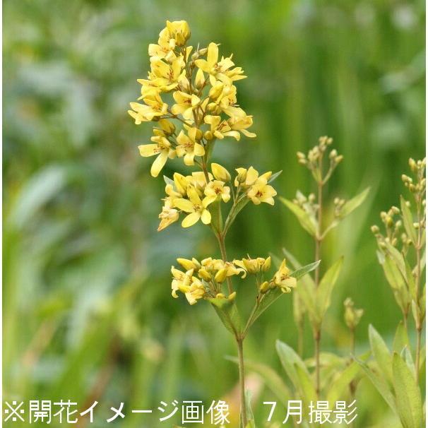 (100ポット)クサレダマ 9cmポット苗100ポットセット 湿地植物/耐寒性多年草/草連玉/硫黄草