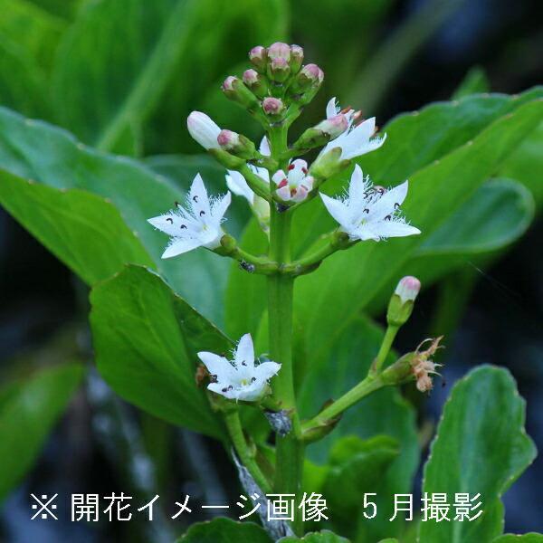 (100ポット)ミツガシワ 10.5cmポット苗100ポットセット 水生植物/耐寒性多年草/三槲