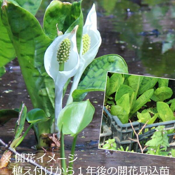 (100ポット)斑入りミズバショウ 10.5cmポット苗100ポットセット 湿地植物/耐寒性多年草/水芭蕉