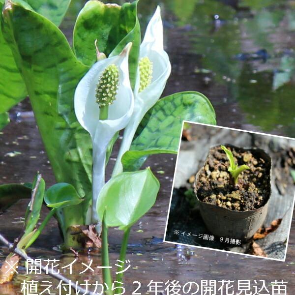 (100ポット)斑入りミズバショウ 9cmポット苗100ポットセット 湿地植物/耐寒性多年草/水芭蕉