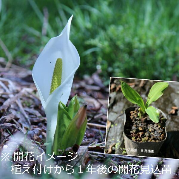(100ポット)ミズバショウ 10.5cmポット苗100ポットセット 湿地植物/耐寒性多年草/水芭蕉