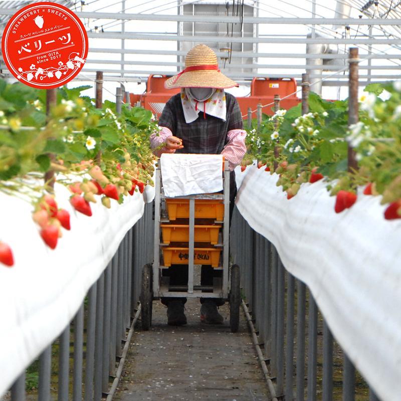 冷凍いちご ベリーツ 1kg 大分県産ブランド苺 イチゴ shop-furusato 06