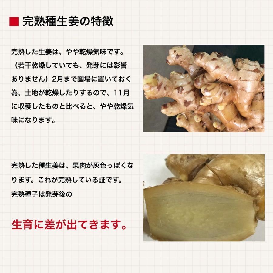 【完売御礼】【種生姜】タイ産 完熟種生姜(近江生姜 白)10kg|shougakoubou|04