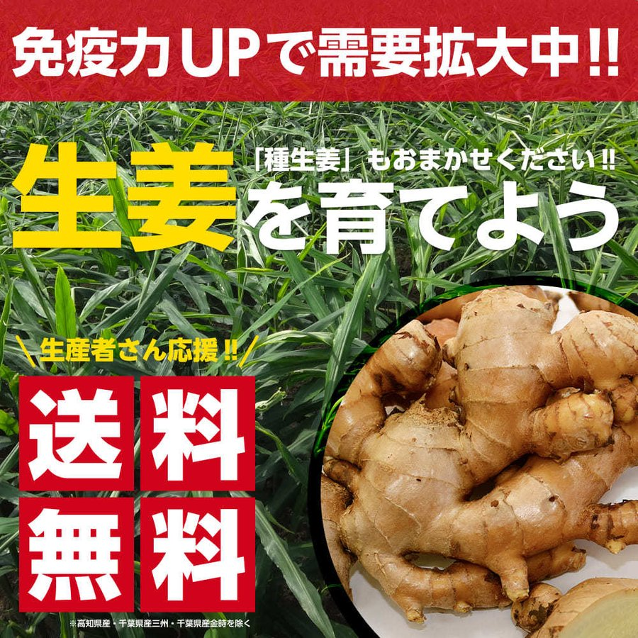 中国産 近江生姜(黄)10kg【種生姜】|shougakoubou|02