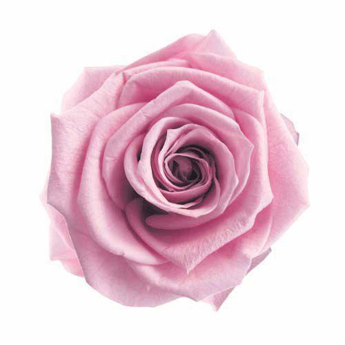 低廉 プリザーブドフラワー 花材 スタンダード ローズ ラベンダーピンク 小分け 1輪 送料無料カード決済可能 資材 フロールエバー 個売り バラ 花 材料