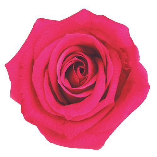 プリザーブドフラワー 花材 正規逆輸入品 メディアナローズ ホットピンク 小分け 1輪 フロールエバー 毎日激安特売で 営業中です バラ 大きい