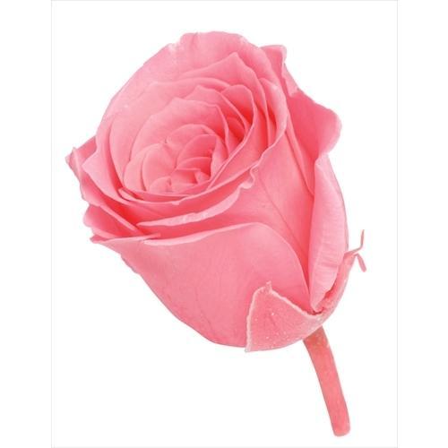 プリザーブドフラワー 花材 バラ ビビアン キャンディーピンク ローズ 春の新作続々 小さい 1輪 小分け メイルオーダー 大地農園