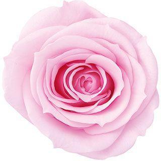 プリザーブドフラワー 花材 いずみ ローズ 販売 最安値挑戦 シャーベットピンク 小分け 1輪入 大地農園