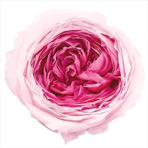 てまり 安心の定価販売 ローズ ミルフィーユ ピンクベリー 小分け 期間限定お試し価格 1輪 材料 大地農園 花材 プリザーブドフラワー