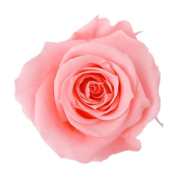 プリザーブドフラワー 花材 アイネス ローズ モデル着用&注目アイテム ピンクネクター 小分け 資材 公式通販 1輪 個売り バラ バラ売り 材料