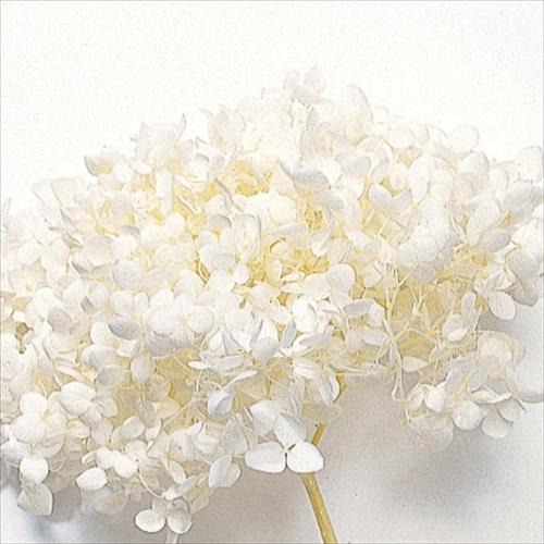 ◆セール特価品◆ 《プリザーブドフラワー》大地農園 花材 アナベル アジサイ オフホワイト 約2輪 ホワイト あじさい 白 紫陽花 公式ストア