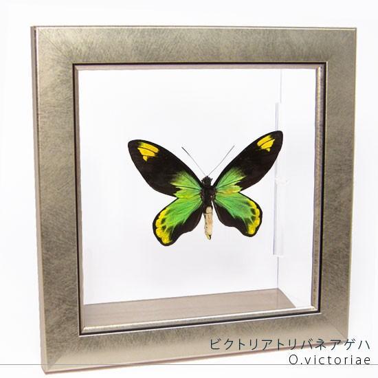 蝶の標本 ビクトリアトリバネアゲハ メタリック調ライトフレーム