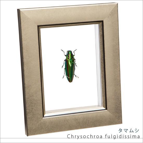 昆虫標本 タマムシ 本物 メタリック調ライトフレーム 美品