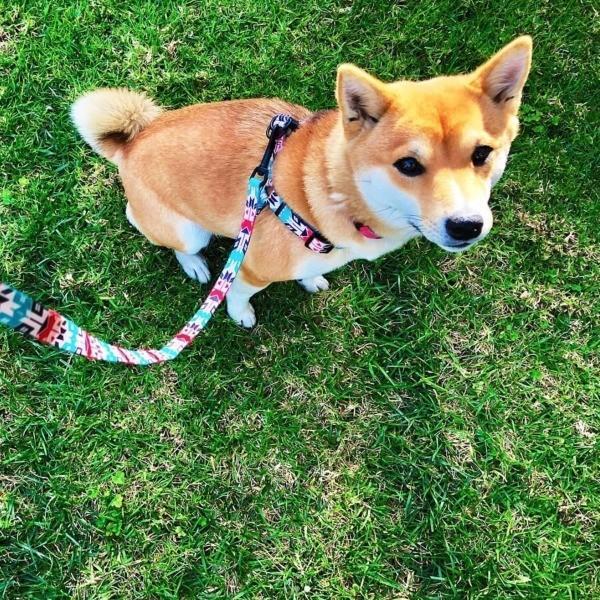 犬 リード  M  size 全長:122cm ウルフギャング WOLFGANG  FurTrader LEASH / アメリカンメイド|starry|04