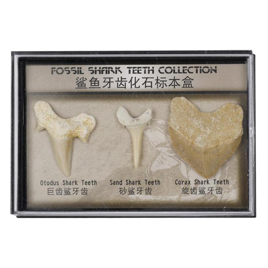 動物のサメの歯の標本の歯の化石学生学習小道具コレクション 付与 永遠の定番
