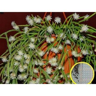 リプサリス ピロカルパ Rhipsalis Pilocarpa の種子 Cts Rhp Rhipsalis Pilocarpa 多肉植物ワールド 通販 Yahoo ショッピング