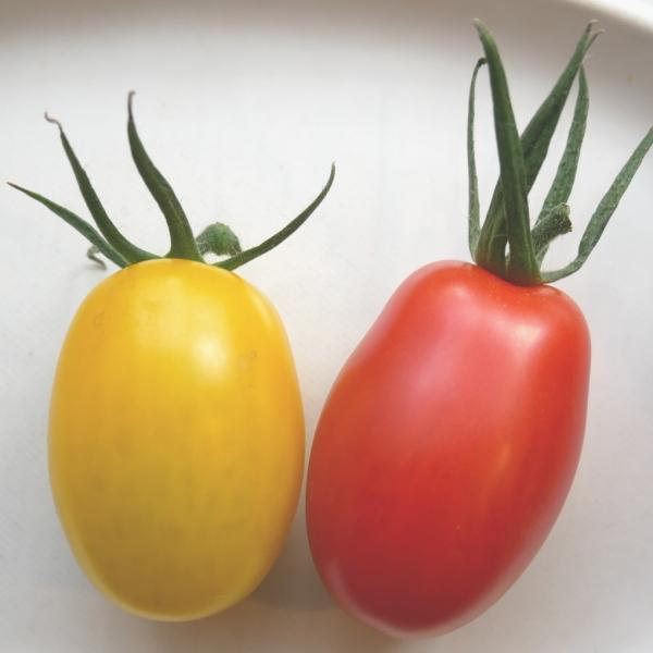 アイコミックス1.2kg入り 親バカトマトのミニトマト いわき市産  suketoma 05