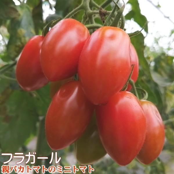 フラガールミックス1.2kg入り 親バカトマトのミニトマト いわき市産  suketoma 02
