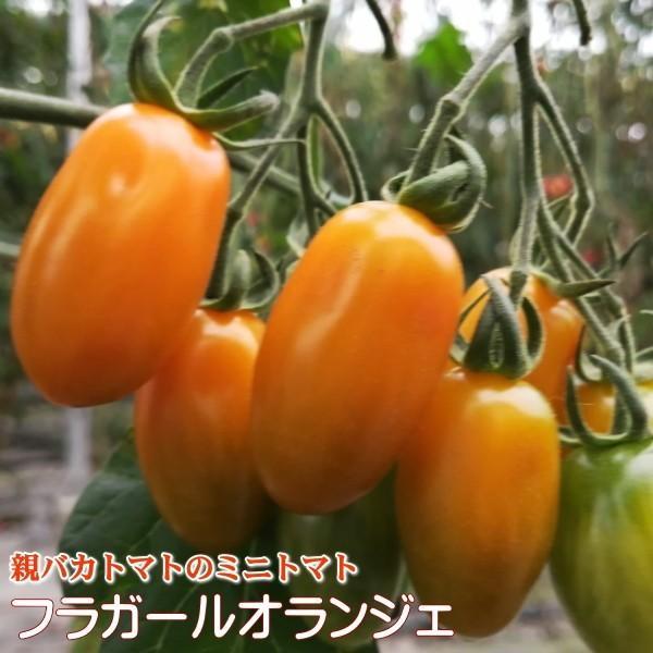 フラガールミックス1.2kg入り 親バカトマトのミニトマト いわき市産  suketoma 03