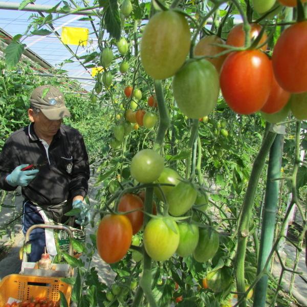 親バカトマトのミニトマト約7種ミックス 1.2kg いわき市産  suketoma 08