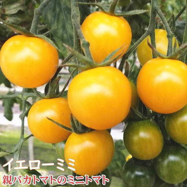 さくらミックス1.2kg入り 親バカトマトのミニトマト いわき市産 |suketoma|04