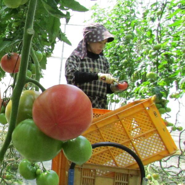 親バカトマトとミニトマトの詰め合わせ 約4kg いわき市産 選べるミニ suketoma 10