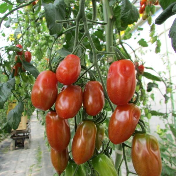 親バカトマトのミニトマト約7種ミックス 3.6kg いわき市産 |suketoma|07