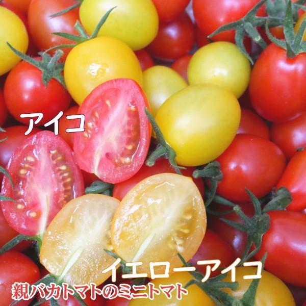アイコミックス1.8kg入り 親バカトマトのミニトマト いわき市産  suketoma 02