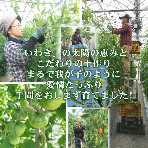 アイコミックス1.8kg入り 親バカトマトのミニトマト いわき市産  suketoma 09