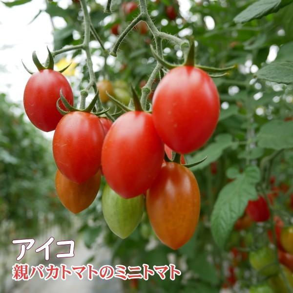 アイコミックス1.8kg入り 親バカトマトのミニトマト いわき市産  suketoma 04