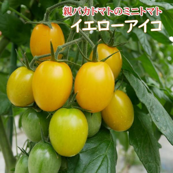 アイコミックス1.8kg入り 親バカトマトのミニトマト いわき市産  suketoma 05