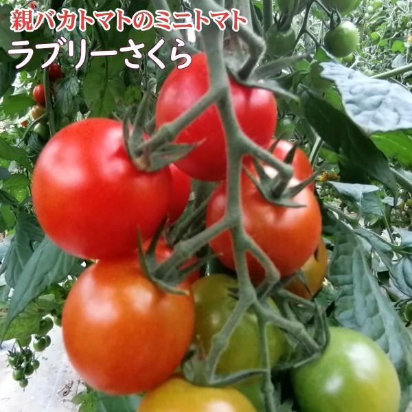 アイコとさくら1.8kg入り 親バカトマトのミニトマト いわき市産  suketoma 06
