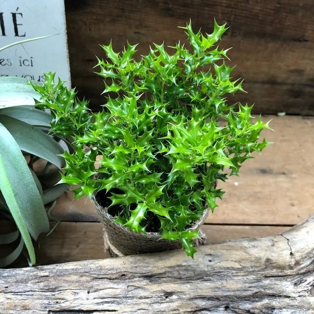 観葉植物 姫ヒイラギ 魔除け木に 玄関に 観葉植物 ガーデニング インテリア|sunnyy|02