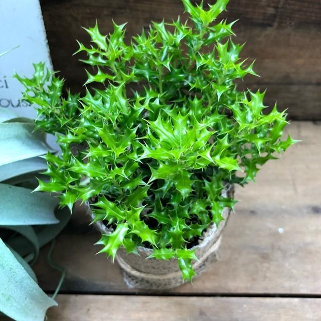 観葉植物 姫ヒイラギ 魔除け木に 玄関に 観葉植物 ガーデニング インテリア|sunnyy|03