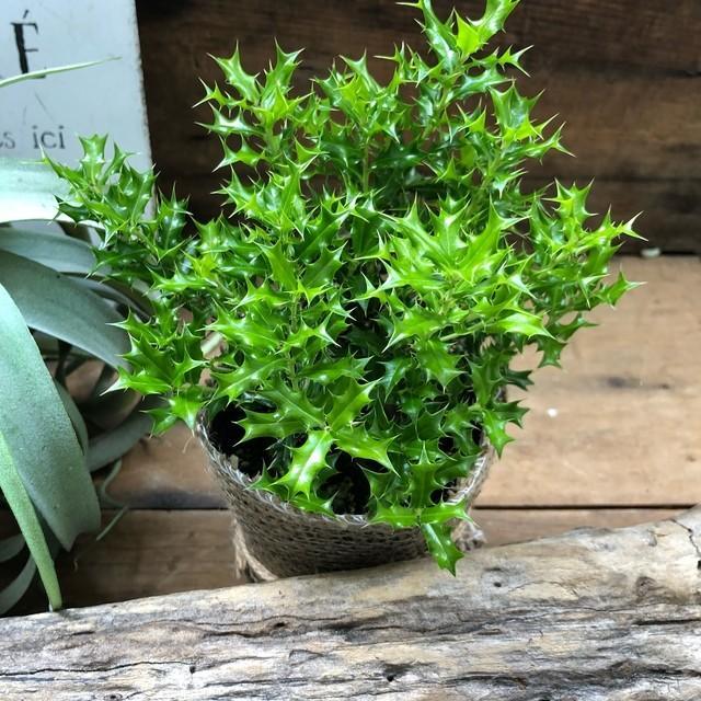 観葉植物 姫ヒイラギ 魔除け木に 玄関に 観葉植物 ガーデニング インテリア|sunnyy|05