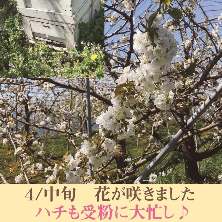 【有我果樹園】佐藤錦さくらんぼ 500g 2L 福島県須賀川市|sweetjuicyparadise|04
