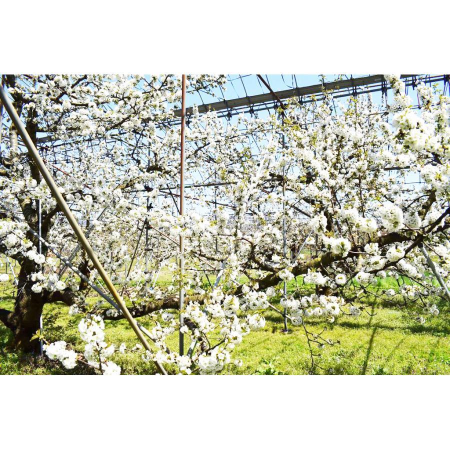 【一愛農園】佐藤錦さくらんぼ 山形県東根市 500g×2(1kg)サイズMとL  |sweetjuicyparadise|03