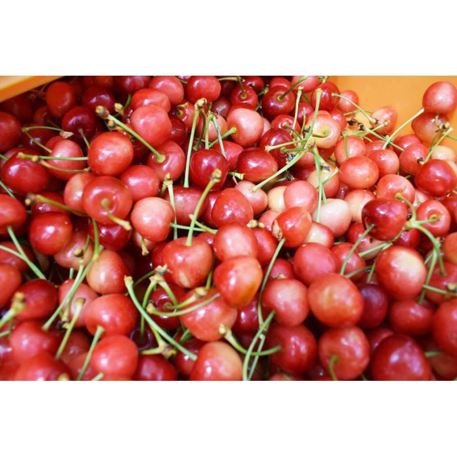 【一愛農園】佐藤錦さくらんぼ 贈答用 L 200g sweetjuicyparadise 07