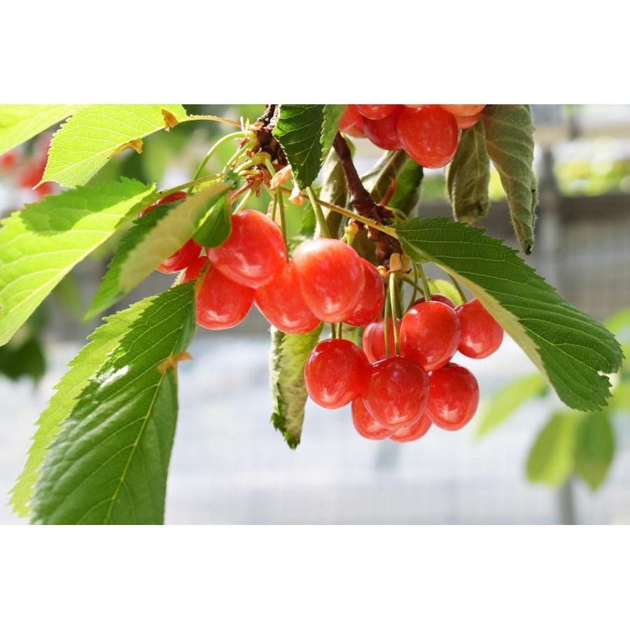 【一愛農園】佐藤錦さくらんぼ 贈答用 L 200g sweetjuicyparadise 08