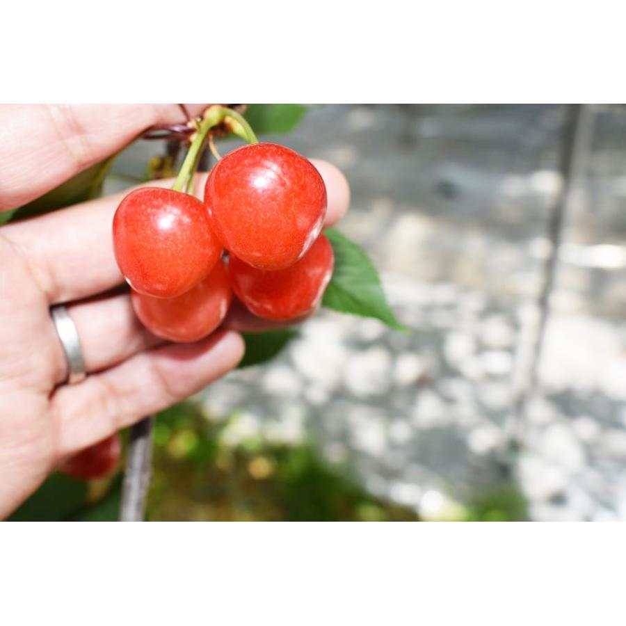 【一愛農園】佐藤錦さくらんぼ 山形県東根市 500g×2(1kg)サイズ2L|sweetjuicyparadise|09