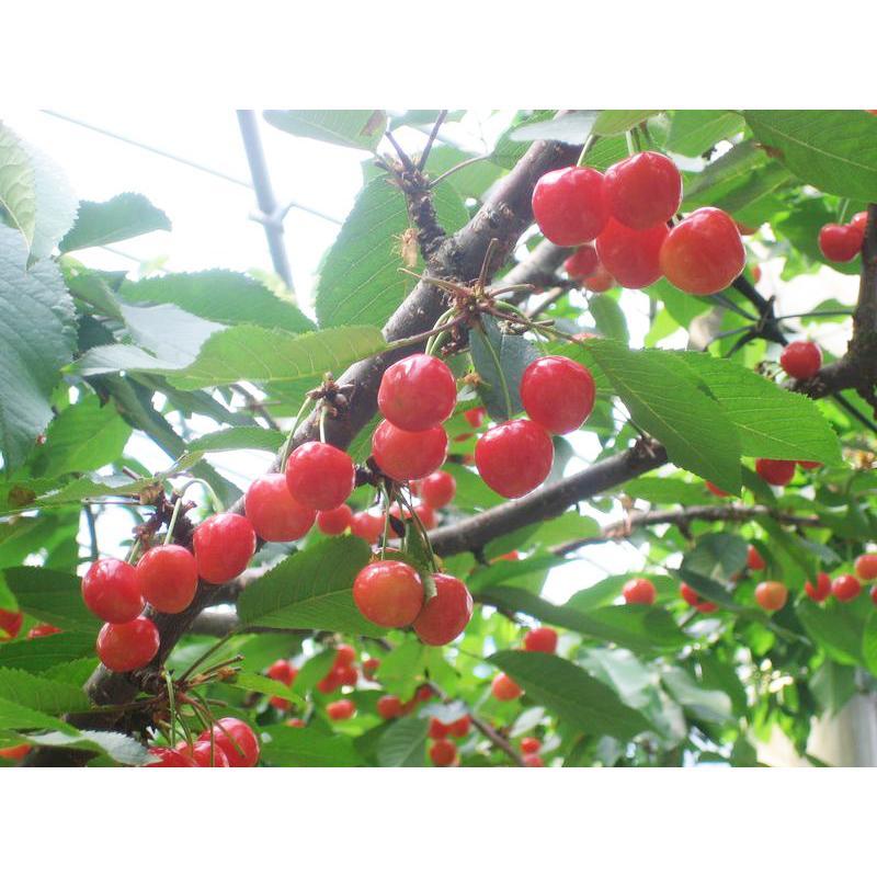 【一愛農園】佐藤錦 ダイヤパック100g×2 Lサイズ sweetjuicyparadise 03