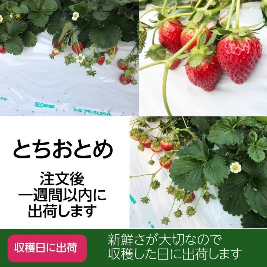 【有慶農園】 福島いちご 須賀川産 とちおとめ苺 約270gバラサイズ×4パック |sweetjuicyparadise|14