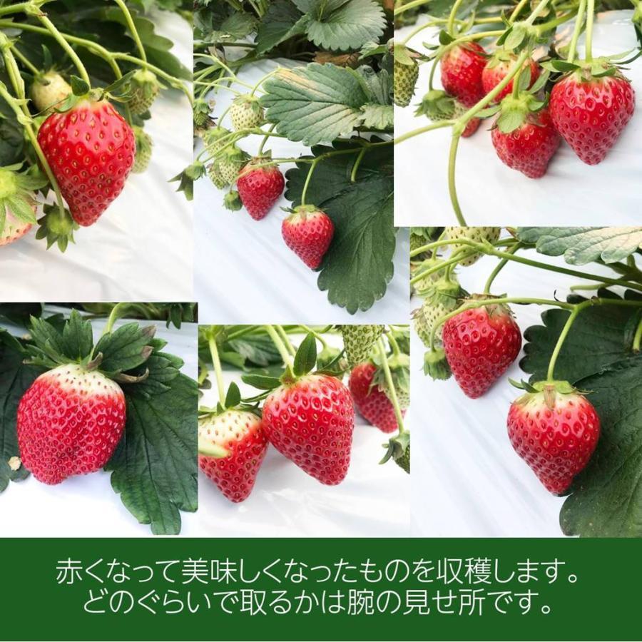 【有慶農園】 福島いちご 須賀川産 とちおとめ苺 約270gバラサイズ×4パック |sweetjuicyparadise|09
