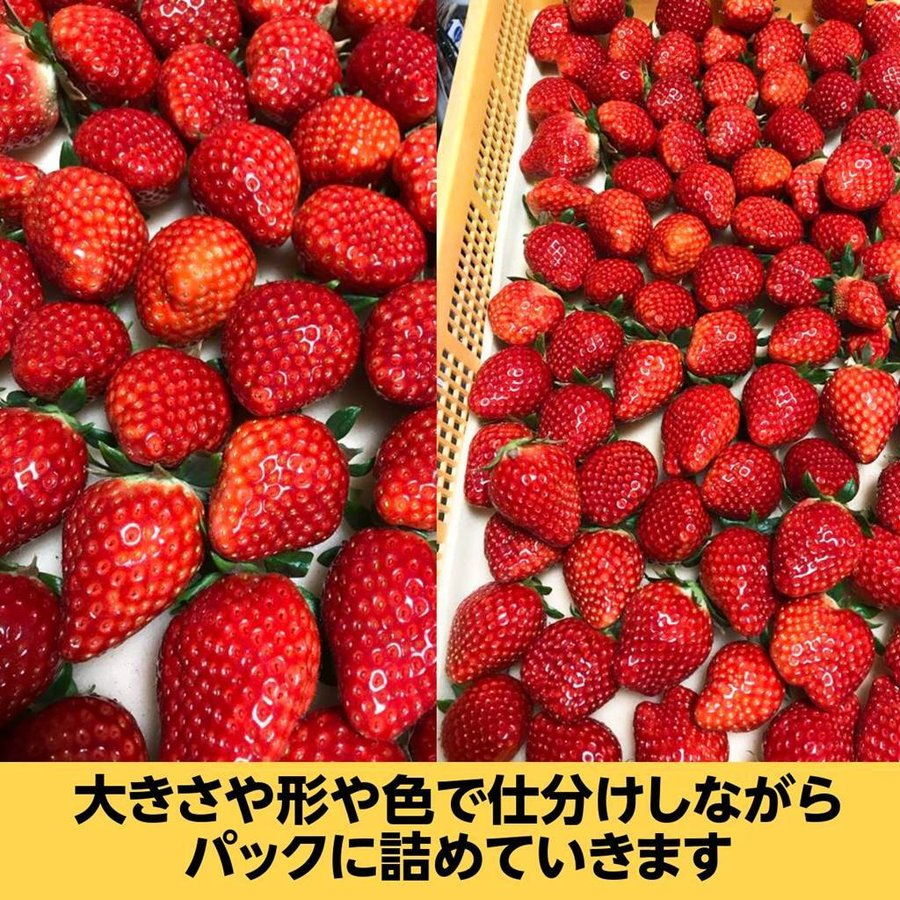 【有慶農園】 福島いちご 須賀川産 とちおとめ苺 約270gバラサイズ×4パック |sweetjuicyparadise|10