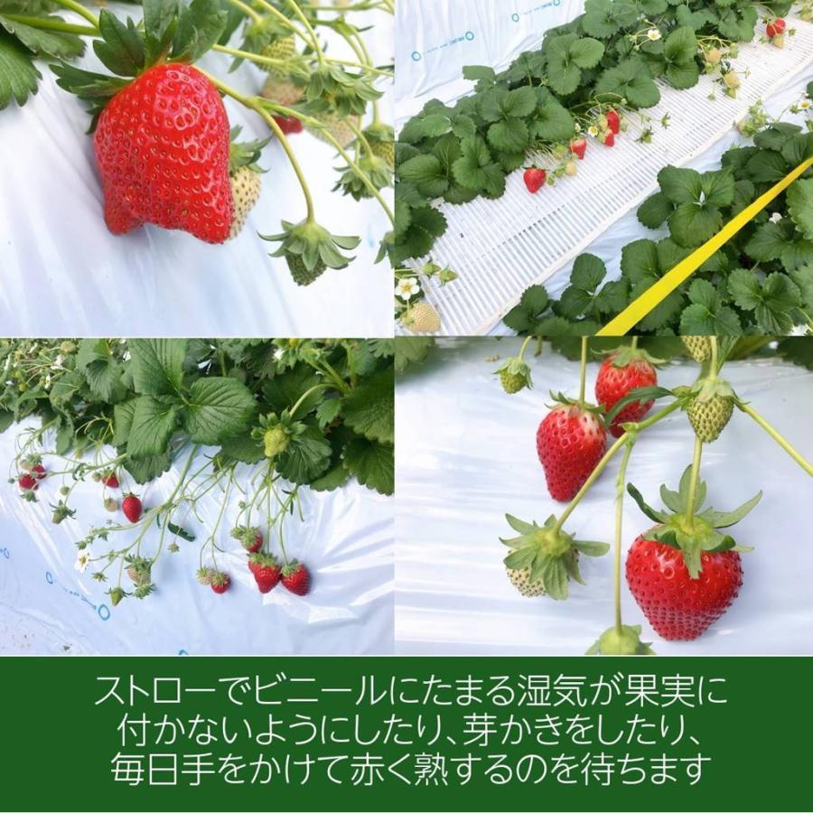 【アグリハウス秋山】福島いちご 須賀川産 とちおとめ苺 270g×4パック  sweetjuicyparadise 05